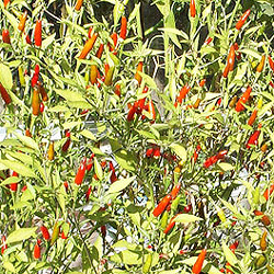 Rooster Spur Chilli Plant
