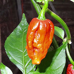 7 Pot Madballz Chilli Plant