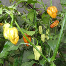 7 Pot Madballz chilli Pods